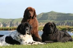 Three different colored Newfoundlands.  Someday when I have a bigger house!!!!
