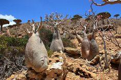 i nuovi mostri... (Manna dal Cielo...) Tags: yemen apocynaceae desertrose socotra adeniumobesum soqotra dragonsbloodtree