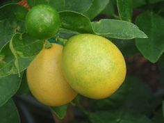 limequats - Google Search