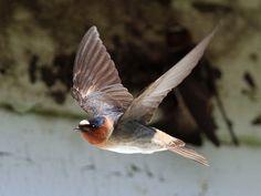 Cliff Swallow -- April 26, 2013; Beaver Dick Park, Madison County, Idaho