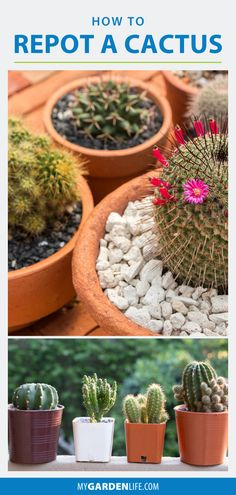 Caring for a cactus in your indoor garden if easy. But if you are an amateur gardener, you might start to wonder at some point if your cactus / cacti are ready for its next pot. Let us show you how to get through this prickly project without a scratch. In this post, learn how to report a cactus and keep your cacti healthy.