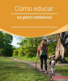 Cómo Educar un perro antisocial Uno de los problemas más comunes de las mascotas es perro no se lleva bien con otros animales. Algunos consejos sobre como educar un perro antisocial.