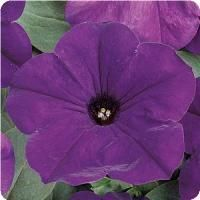 Easy Wave™ Blue Spreading Petunia