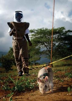Community: Meet The Landmine-Hunting Giant Rats Of Mozambique