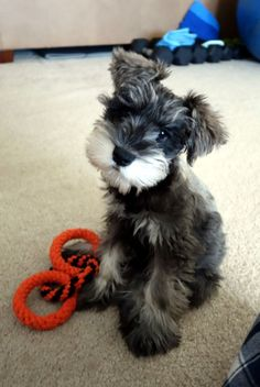Ranked as one of the most popular dog breeds in the world, the Miniature Schnauzer is a cute little square faced furry coat. Miniature Schnauzer Black, Miniature Schnauzer Puppies, Schnauzer Puppy, Schnauzers, Standard Schnauzer, Cute Puppies, Cute Dogs, Dogs And Puppies, Doggies