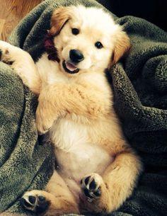 : Doggie, Puppy Love, Golden Retrievers, Happy Puppy, Golden Puppy, Golden Retriever Puppies