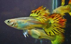 thailand guppy - Google Search