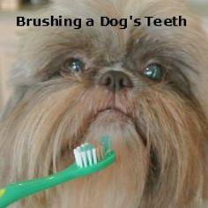 Open Wide!  Brushing Your Dog's Teeth.  http://miracleshihtzu.com/grooming-the-shih-tzu.html