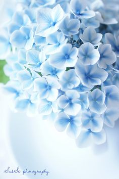 Hydrangea. | Flickr - Photo Sharing! Exotic Flowers, Amazing Flowers, Beautiful Roses, Blue Flowers, Beautiful Flowers, Animated Love Images, Blooming Plants, Little Flowers, Pretty Wallpapers