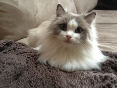 "sweet rag doll cat ""Macie"""
