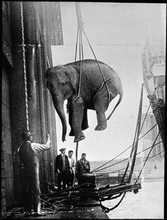 <> Circus workers hoisting an Elephant abroad a boat c.1930s