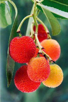 L'arbre à #fraises est un arbuste persistant originaire des régions méditerranéennes donnant, en automne, de jolis #fruits orangés semblables à des #fraises.