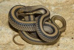 Mountain Patchnosed Snake - Salvadora grahamiae grahamiae Also referred to as Eastern Patch-nosed Snake, Salvadora grahamiae grahamiae (Colubridae) is a species of snake endemic to the United States. Brown Line, Dark Brown, Beautiful Creatures, Black Stripes, Patches, Wizards, Snakes, Reptiles, Photo Credit