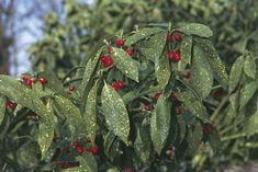 Aucuba (Aucuba japonica), close-up of leaves and fruit Best Shrubs For Shade, Shade Loving Shrubs, Shade Shrubs, Shade Garden Plants, Begonia, Aucuba Japonica, Shade Landscaping, Chlorophytum, Moon Garden