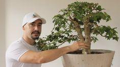 Cherry Bonsai, Plantas Bonsai, Tropical, Plantar, Fruit Trees, Nature, Green, Bella, Bonsai Trees