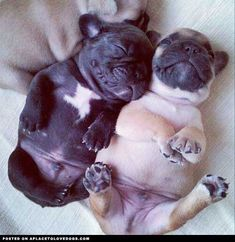 Napping Pugs. LOVE THE BELLIES!!!!!!! ...........click here to find out more http://googydog.com