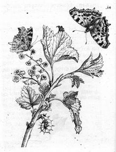 Black and White: Maria Sibylla Merian