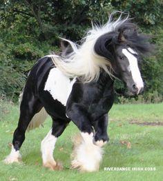 #horses Irish Cob / Gypsy Vanner