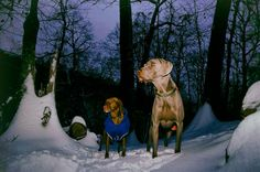 Gizi the Vizsla and Mosby the Weimaraner in Patapsco Park. Maryland film photographer.