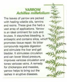 Herbal Medicine Yarrow leaf stops bleeding on contact! The ancient Greeks were using it to stop bleeding in battle. It works on hemorrhaging, and all bleeding. Herbal Remedies, Health Remedies, Home Remedies, Healing Herbs, Medicinal Plants, Herbal Plants, Natural Medicine, Herbal Medicine, Natural Cures