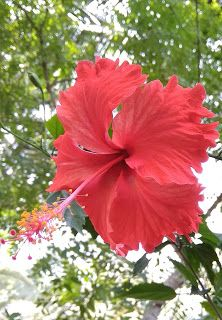 Visualize World Health Benefits Of Hibiscus Flower Hibiscus Flower Drawing Hibiscus Tree Hibiscus Flowers