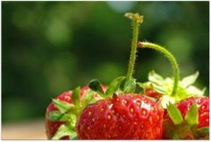 beautytreebyhanna: strawberry - why we should eat it