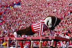 40 Signs You Went To The University Of Wisconsin-Madison: You've Watched Bucky Complete Almost 100 Pushups in a Row Wisconsin Funny, Wisconsin Badgers, University Of Wisconsin, University University, Badger Sports, Cheerleading Pyramids, Cross County, Madison Wisconsin