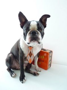 ready for work...Boston Terrier tie by GypsyTailor @ Etsy