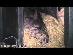 Very Loud Snoring Micro Pig - Kippax-Farms.co.uk