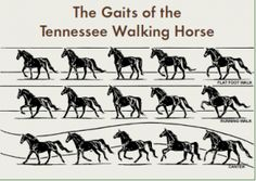 In the late 1800s, settlers of central Tennessee began breeding Morgans, Narragansett Pacers, and Canadian Horses, the breeds they had brou...