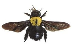 How to Get Rid of Carpenter Bees Naturally (4 Steps) | eHow