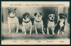 Circus Dog trainer WILTON Jack Russell toy terrier original old 1910s postcard