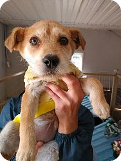 Fairfax, VA - Terrier (Unknown Type, Small) Mix. Meet Amy, a puppy for adoption. http://www.adoptapet.com/pet/17807119-fairfax-virginia-terrier-unknown-type-small-mix