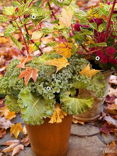 A simple gathering of cold-resistant ruffled green kale (Brassica oleracea), striking magenta chrysanthemum, and variegated Iresine herbstii 'Aureoreticulata' invokes autumn in earthy containers. A. Ruffled green kale (Brassica oleracea) B. Magenta chrysanthemum C.Iresine herbstii'Aureoreticulata'