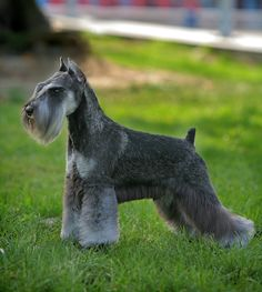 Miniature Schnauzer Grooming, Bathing, and Care