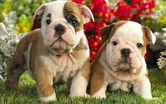 Wallpaper vegetation, animal beauty, puppy English bulldog, cuddly, grass, fat, puppies, flower, animal, twins, in the ...