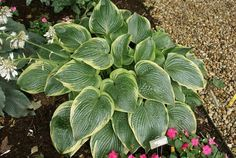 Unchained Melody Hosta