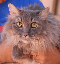 Danika is a docile, easy-going boy, but when he plays with his toys he turns into a kitten again every time.  He is a handsome leonine grey tabby, 22-pounds large, 8 years of age, neutered, and ready for adoption at Nevada SPCA (www.nevadaspca.org).  Danika enjoys resting peacefully and loyally in your presence.  We believe he will do best as the only cat in the home so he can have you all to himself.  Please help find him a wonderful, indoor-only, loving forever home.