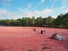 The Magnificent Cranberry - Jewel of the Pine Barrens!