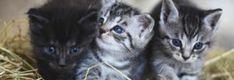 Kediler ile ilgili söylenmiş Güzel Sözler Albert Camus, Ernest Hemingway, Cats, Animals, Gatos, Animales, Animaux, Animais, Kitty
