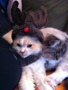 Our red mink reindeer-muffin. Ragamuffin Cat, I Love Cats, Mink, Reindeer, Cats And Kittens, Red, Animals, Animales, Animaux