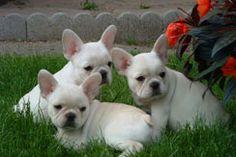 I want a cream french bulldog sooooo bad it hurts.  <3