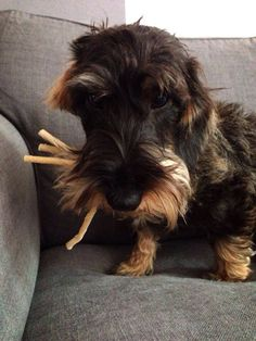 Och no. I think I've swallowed my wee bag pipes. Wire Haired Dachshund, Mini Dachshund, Dachshund Puppies, Dogs And Puppies, Daschund, Weiner Dogs, Winnie Dogs, Animals And Pets, Cute Animals