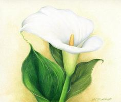 "Calla Lily by Heather A. Mitchell Colored Pencil ~ 9"" x 12"""