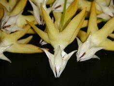 Closeup on hoya multiflora