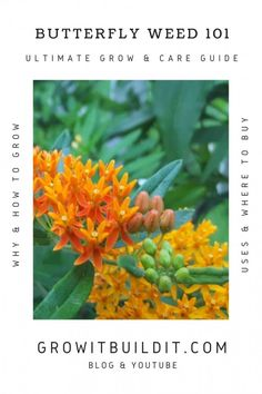 Butterfly Weed 101 – Ultimate Grow & Care Guide! – GrowIt BuildIT