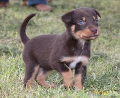 32 Best Kelpies images in 2019 | Puppies, Puppys, Border Collie