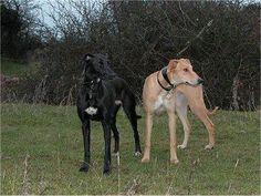Lurcher . . .The Lurcher's temperament varies depending on whether your dog is a sighthound/Terrier cross or a sighthound/Collie cross. In general, this is a gentle, good-natured dog who needs a definite pack leader.