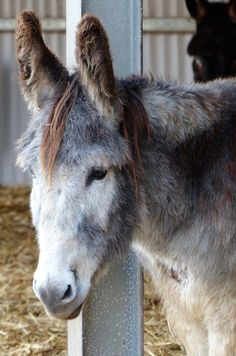 Jasper and his beautiful ginger forelock at Island Farm #Donkey Sanctuary