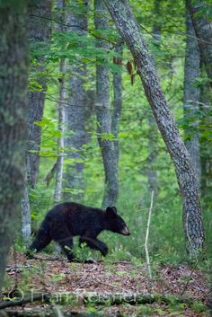 We saw two of these with the momma bear ❤️ Amazing Animal Pictures, Bear Pictures, Nature Pictures, Beautiful Creatures, Animals Beautiful, Animals And Pets, Cute Animals, Black Bear Cub, Bear Cubs